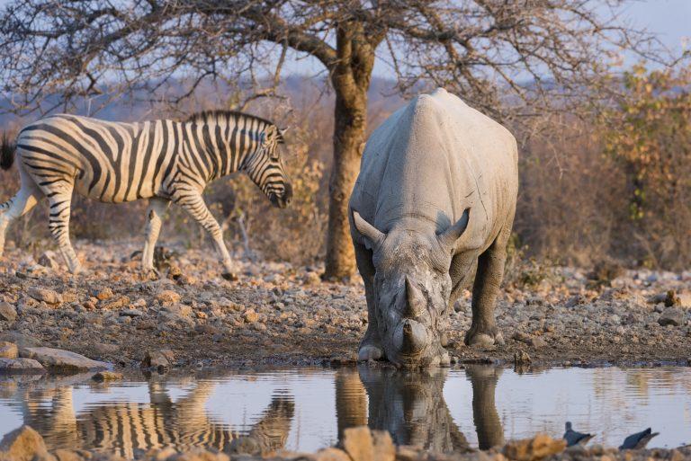Ongava Lodge Rhinozeros