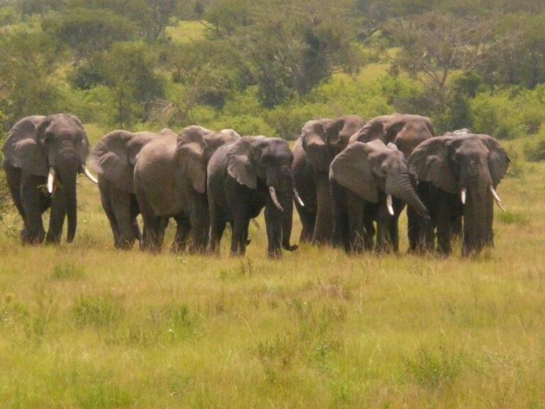 Elefanten Ishasha