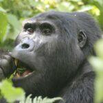 Essender Gorilla
