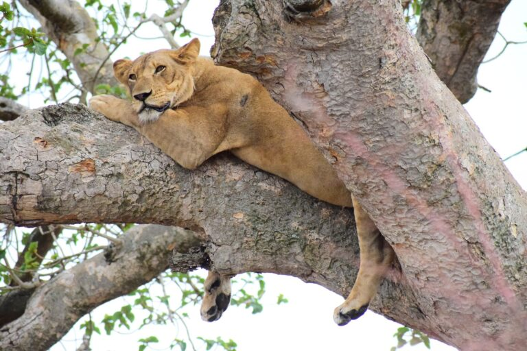 Ishasha Löwe im Baum