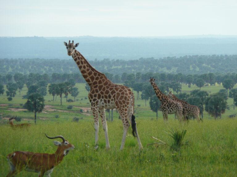 Murchison Falls Nationalpark Giraffen
