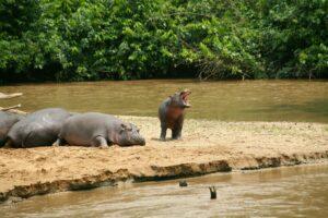 Nilpferde auf Sandbank