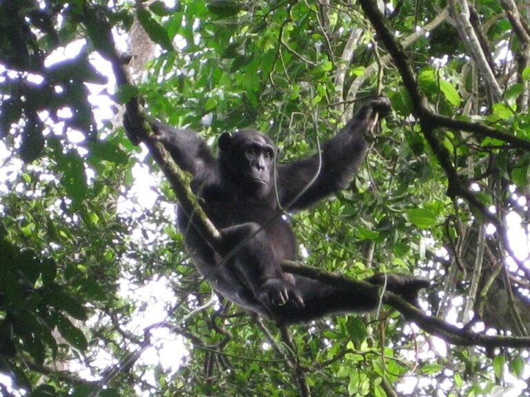 Schimpanse sitzt im Baum in Uganda