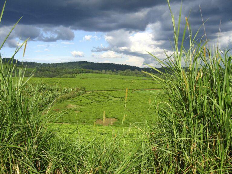 Sicht über Teeplantage in Uganda