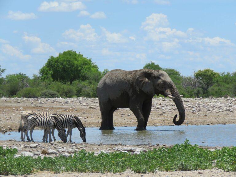 Etosha Elefant und Zebras am Wasser