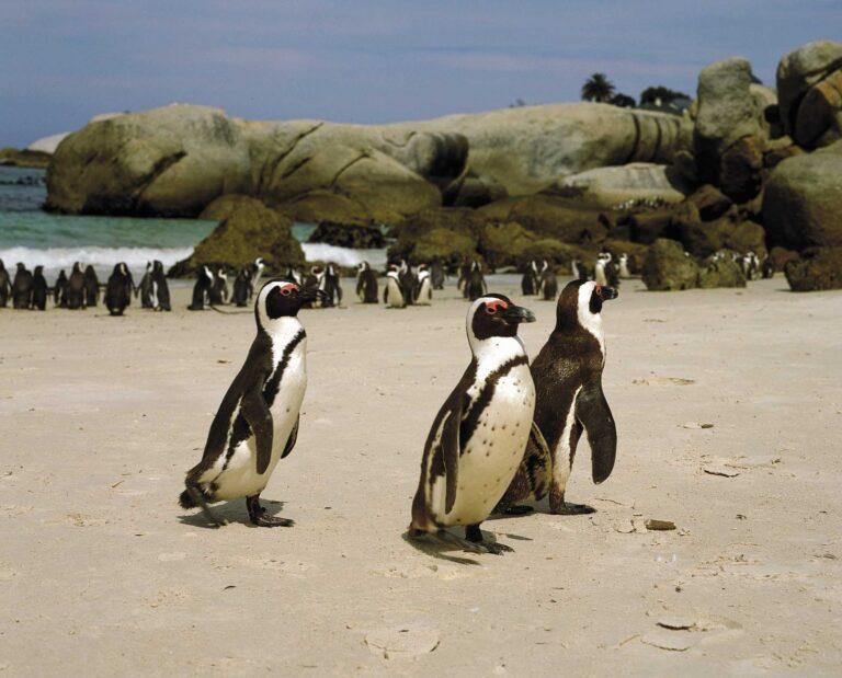 Pinguin Kolonie am Strand
