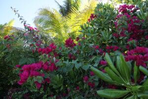 Seychellen Hibiscus